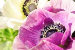 Nahaufnahme der weißen und purpurroten Anemonen Lizenzfreies Stockfoto