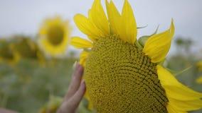 Nahaufnahme der weiblichen Hand die helle gelbe Sonnenblume berührend, die auf dem Feld wächst Verbindung mit Natur Landwirtschaf stock video