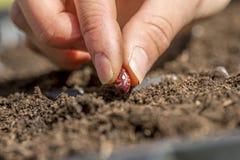 Nahaufnahme der weiblichen Hand einen Samen der roten Bohne in einem fruchtbaren pflanzend Lizenzfreies Stockbild