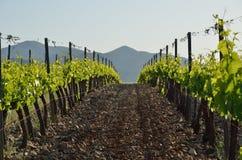 Nahaufnahme der Weinstockplantage Stockfotografie