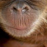 Nahaufnahme der Wekzeugspritze und des Munds des Sumatran Orang-Utans Lizenzfreie Stockbilder