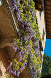 Nahaufnahme der Winde mit der Sonne und Blumen, die von einem Balkon in Bellagio fallen Stockbilder