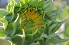 Nahaufnahme des Öffnens der gelben Sonnenblume Stockfotos