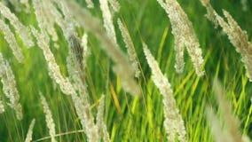 Nahaufnahme des üppigen grünen Grases mit den flaumigen Ährchen, die in den Wind auf dem Gebiet beeinflussen Wildes Gras in der S stock video