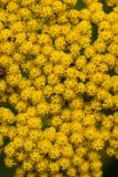 Nahaufnahme des Achillea-Mondenscheinblütenstands Stockfoto