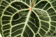 Nahaufnahme des Ader-Musters auf einem großen grünen Blatt Lizenzfreies Stockbild