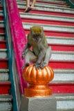 Nahaufnahme des Affen in der Treppe von Batu höhlt, Malaysia aus Stockfoto