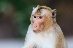 Nahaufnahme des Affen (Makaken Krabbe-essend) Lizenzfreie Stockbilder