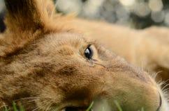 Nahaufnahme des afrikanischen Löwejungen des Babys lizenzfreies stockbild