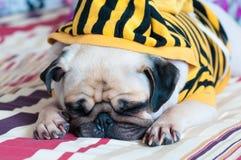 Nahaufnahme des alten Schlafen Pugwelpen mit Rotz kalten Abnutzungsgelb Sweatshirts mit Haube auf Bett stockbild