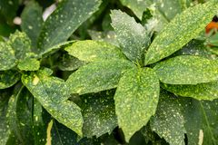 Nahaufnahme des Anlagen-Aucuba-japonica 'Variegata ' Spezies der Klasse cyanophyllum, die weit kultiviert wird lizenzfreie stockfotografie