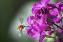 Nahaufnahme des Apfel-Blüterüsselkäfers auf Blüte Stockbild