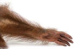 Nahaufnahme des Armes eines jungen Bornean-Orang-Utans, Pongo pygmaeus Lizenzfreie Stockbilder