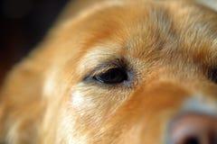 Nahaufnahme des Auges des Hundes, Alarm, goldener Pelz stockbild