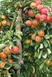 Nahaufnahme des Baums voll der Äpfel Stockbilder