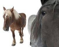 Nahaufnahme des belgischen Pferds Stockfotos
