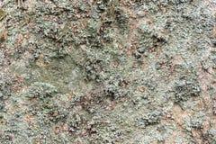 Nahaufnahme des Beschaffenheitsgrüns des natürlichen Hintergrundes des grauen braunen Flechtenmusters auf einem Felsen in den Ber Stockfoto