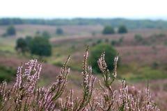 Nahaufnahme des blühenden Heide lizenzfreies stockfoto