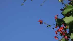 Nahaufnahme des blauen bewölkten Himmels des Bohnenblütenblattbewegungswindhintergrundes 4K stock video footage