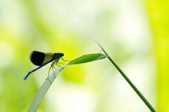 Nahaufnahme des blauen Insekts - mit einem Band versehener Demoiselle Lizenzfreie Stockfotografie