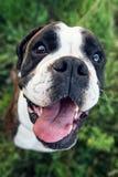 Nahaufnahme des Boxerhundes Lizenzfreie Stockfotografie