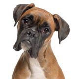 Nahaufnahme des Boxers, 12 Monate alte Lizenzfreies Stockfoto