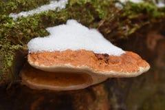 Nahaufnahme des bunten Baumpilzes auf einem Baumstamm im Winter in einem Wald in Kassel in Deutschland Lizenzfreie Stockbilder