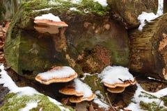 Nahaufnahme des bunten Baumpilzes auf einem Baumstamm im Winter in einem Wald in Kassel in Deutschland Lizenzfreies Stockbild