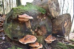 Nahaufnahme des bunten Baumpilzes auf einem Baumstamm im Winter in einem Wald in Kassel in Deutschland Stockfotos