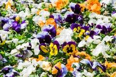 Nahaufnahme des bunten Blumenbeets gemacht von den Pansies Lizenzfreie Stockfotografie