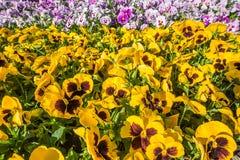 Nahaufnahme des bunten horizontalen Blumenbeets gemacht vom Rosa und vom Gelb Stockfotos