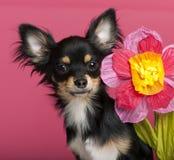 Nahaufnahme des Chihuahuawelpen mit Blume Lizenzfreies Stockfoto