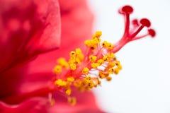 Nahaufnahme des chinesischen Hibiscus Lizenzfreie Stockbilder