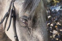 Nahaufnahme des dapple-grauen Pferdegesichtes mit schwarzem Zaum und den langen Wimpern stockbild