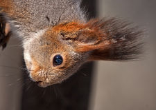 Nahaufnahme des Eichhörnchens Stockbild