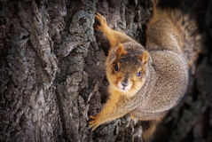 Nahaufnahme des Eichhörnchens auf Baum Lizenzfreies Stockfoto