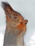 Nahaufnahme des Eichhörnchens auf dem Schnee Stockfotografie