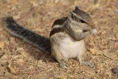 Nahaufnahme des Eichhörnchens, das etwas hat stockbild
