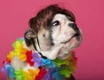 Nahaufnahme des englischen Bulldoggewelpen, der eine Perücke trägt Lizenzfreie Stockfotos