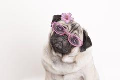 Nahaufnahme des entzückenden netten Pughundewelpen, der rosa Gläser und Blume trägt stockfotos