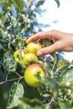 Nahaufnahme des Erntens von Äpfeln Stockbild