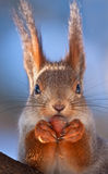 Nahaufnahme des Essens des Eichhörnchens Stockbilder