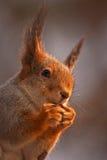 Nahaufnahme des Essens des Eichhörnchens Lizenzfreie Stockfotos