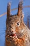 Nahaufnahme des Essens des Eichhörnchens Stockfotografie