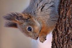 Nahaufnahme des Essens des Eichhörnchens Stockbild