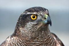 Nahaufnahme des Falken Stockfotos
