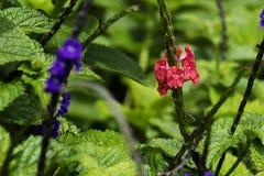 Nahaufnahme des Feldes der purpurroten Blumen mit gr?nen Bl?ttern stockfotografie