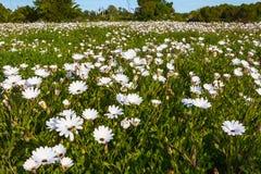 Nahaufnahme des Feldes von Hunderten von den weißen Gänseblümchen Stockfotografie