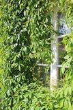 Nahaufnahme des Fensters mit Virginia-Kriechpflanze stockbild