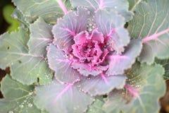 Nahaufnahme des frischen Grünkohls im Gemüse g Lizenzfreies Stockfoto